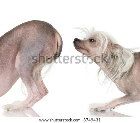 chinese crested dog Hairless dog in front of a white background