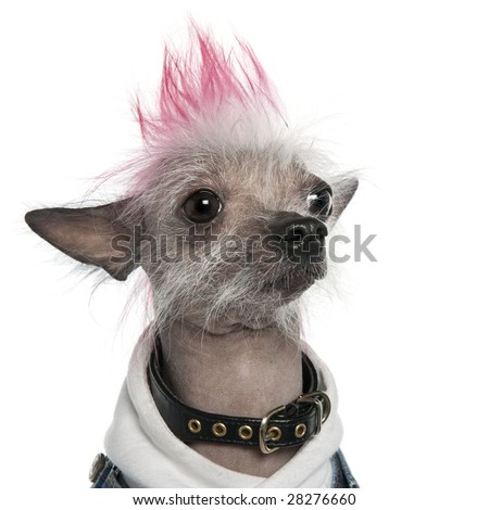 Chinese Crested Dog - Hairless (2 years old) dog in front of a white background