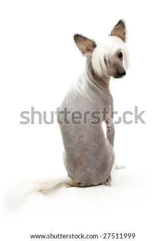 Chinese Crested Dog isolated on white - stock photo