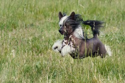 Chinese Crested Dog portrait in green grass