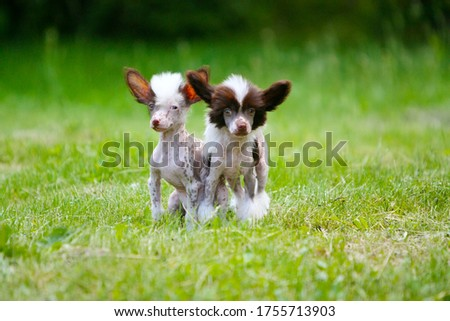 Photo of Chinese crested dog puppies on the background of grass. Cute dogs pose in an outdoor Park. The concept of friendship. Free space for text. Copy of the space. Horizontal image. Decorative animals.