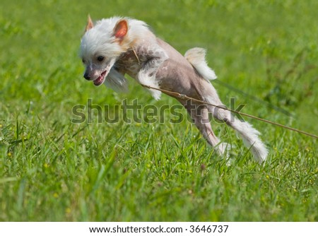 Chinese crested dog puppy playing - big jump