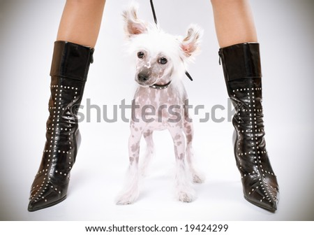 chinese crested dog sitting between woman's legs - stock photo