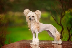 Chinese crested dog walks in the park