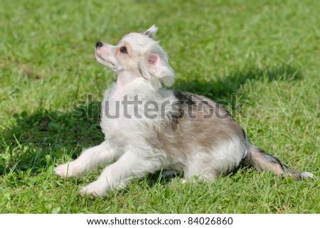 Chinese Crested 4 Months Chinese Crested Dog whelp 4