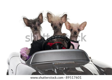 Chinese Crested dogs driving convertible in front of white background