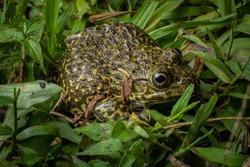 Chinese Edible Toad East Asian Bullfrog Taiwanese Frog Hoplobatrachus rugulosus
