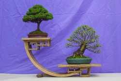 Chinese Elm and a Chamaecyparis Bonsai combination in training in Northern Ireland and on display at the Belfast spring festival at Barnetts Demesne in April 2018