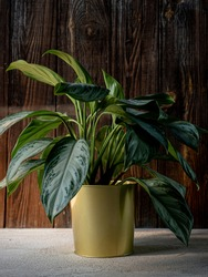 Chinese evergreen plant (aglaonema) in golden flower pot on dark rustic wooden background. Green tropical houseplant, home decoration