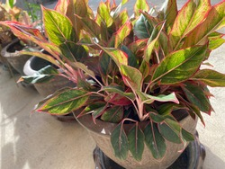 Chinese evergreen plant or aglaonema is a highly decorative plant. It is a popular, easy plant to grow indoors and outdoors. Selective focus.