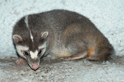 Chinese ferret-badger (Melogale moschata); captive animal