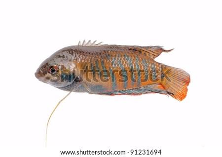 chinese fight fish Macropodus opercularis isolated on white
