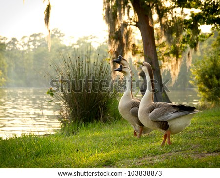 Chinese geese admiring Sam Houston Jones State Park togerther.