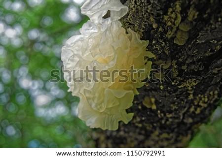 Chinese gelatinous fungi. Tremella fuciformis. Snow fungus.
