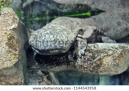 Chinese giant salamander in freshwater aquarium, selective focus.
