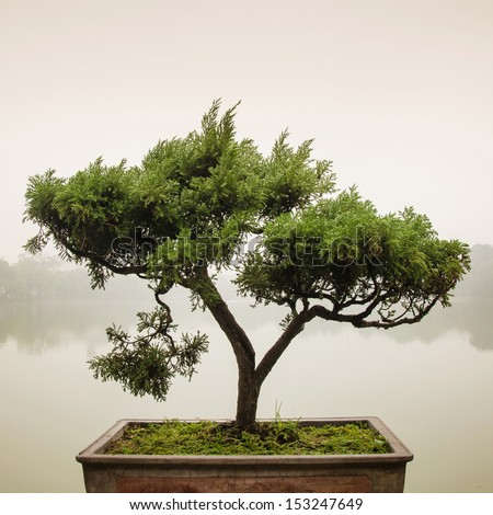Chinese green bonsai tree