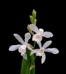 Chinese Ground Orchid - Bletilla striata 'Alba'