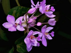 Chinese Ground Orchid, Bletilla striata, with shallow DOF. The cluster of bright purple blossoms is in front of its' own greenery.  Easy to grow, the Chinese Ground Orchid is a popular herbal medicine
