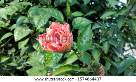 Chinese hibiscus rosa-sinensis bud blossom with tree background.close-up hibiscus Rosa sinensis.