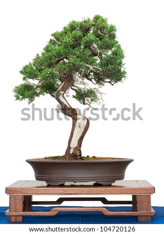 Chinese juniper as bonsai tree is white isolated