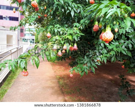 Chinese lantern, Japanese lantern, lantern, bell, the center is very delicate, can only be seen, looking inside, small bush with rustic style, shrub garden, orange and reddish color.