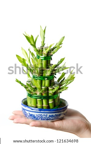 Chinese Lucky bamboo, Dracaena sanderiana, isolated