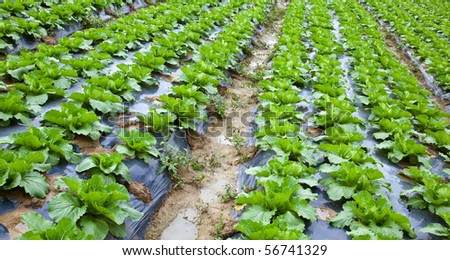 Chinese mustard with plastic film protected in land,The plastic film used vegetable insulation and prevent soil erosion