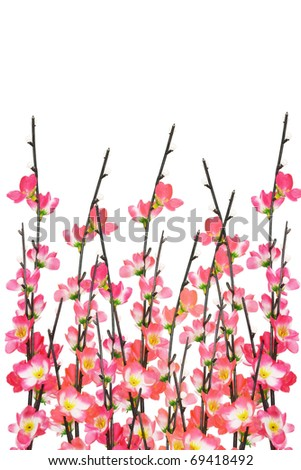 Chinese New Year cherry blossoms on white background