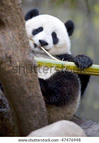 chinese panda bear male juvenile in tree eating bamboo, china - stock photo