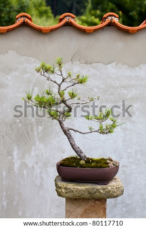 Chinese pine bonsai tree