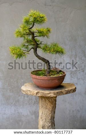Chinese pine bonsai tree
