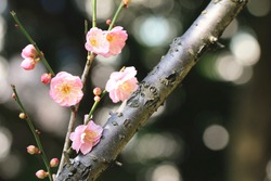 Chinese Plum,Japanese Apricot,pink flowers and buds,beautiful pink flowers blooming in the garden in spring