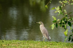 Chinese pond heron ( Ardeola bacchus ) is an East Asian freshwater bird on the lawn in the park.