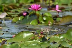 Chinese pond heron bird catching fish and walking on lotus leaves.