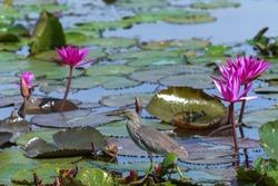 Chinese Pond Heron bird walking on lotus leaf.