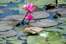Chinese Pond Heron bird walking on lotus leaves.