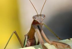 Chinese Praying Mantis - Tenodera sinensis