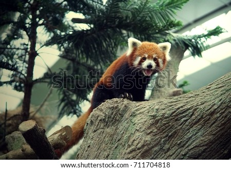 Chinese red panda cute adorable animal wildlife #711704818