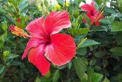 Chinese red rose HibiscusHibiscus rosa-sinensis