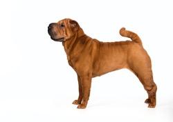 chinese shar-pei dog isolated on a white background