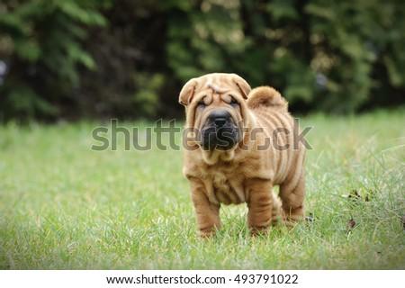 Chinese Shar pei puppy portrait at garden