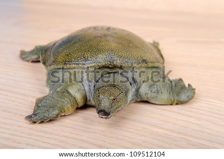 Chinese soft-shelled turtle