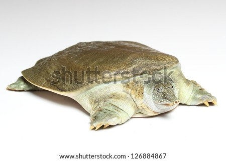 Chinese softshell turtle (Pelodiscus sinensis) on white