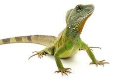 Chinese water dragon(Physignathus cocincinus) on a white background