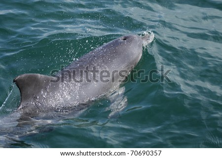 Chinese white dolphin (Sousa chinensis) swimming in the sea in Australia