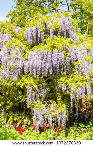 Chinese Wisteria and Japanese Wisteria  blossom #1372370330