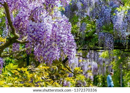 Chinese Wisteria and Japanese Wisteria  blossom #1372370336