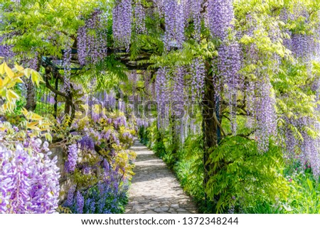 Chinese Wisteria and Japanese Wisteria Floribunda Macrobotrys bloom. #1372348244