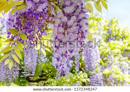 Chinese Wisteria and Japanese Wisteria Floribunda Macrobotrys bloom. #1372348247