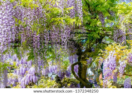 Chinese Wisteria and Japanese Wisteria Floribunda Macrobotrys bloom. #1372348250